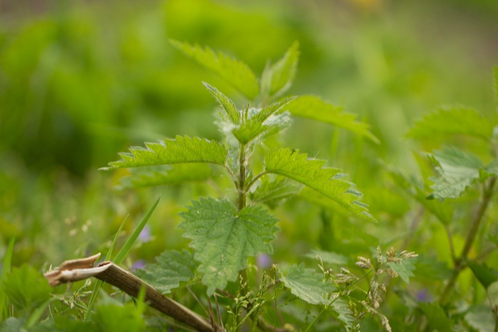 Brennnessel (Urtica dioica)
