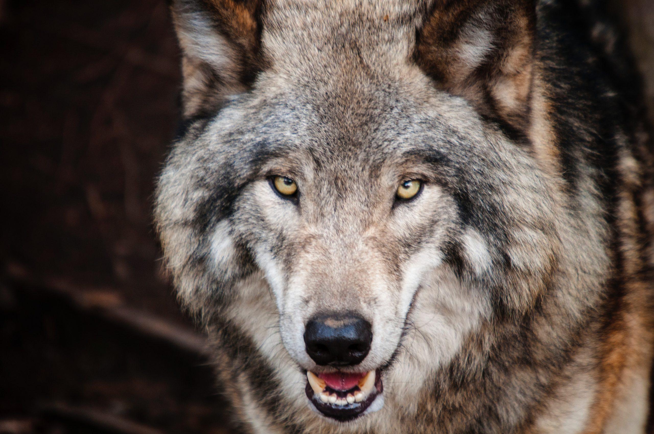 wolfsmedizin-storl