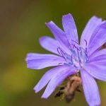 Wegwarte-Bach-Blütentherapie