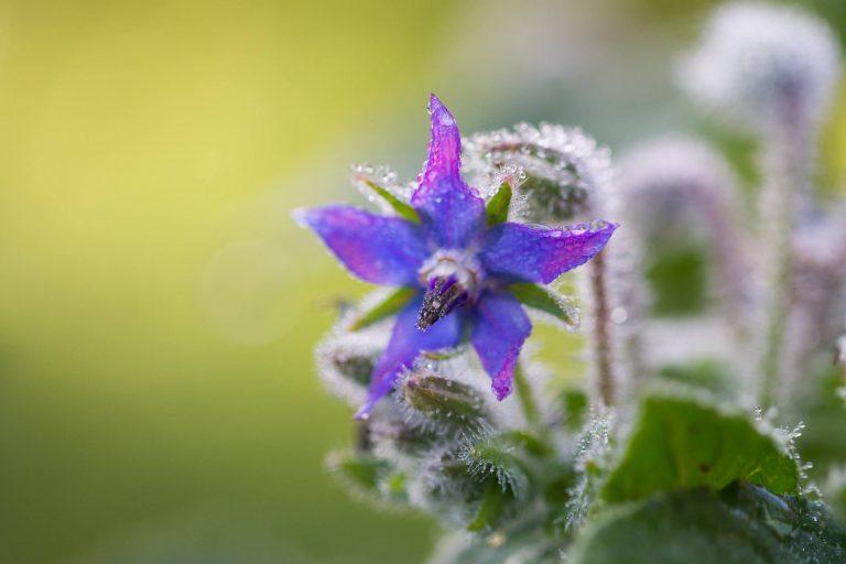 Borrtesch (Borago officinalis)