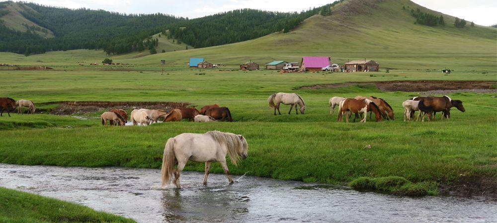 pferde-in-der-mongolei