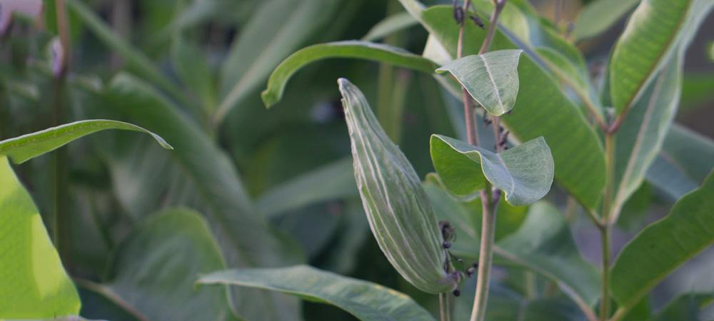 seidenpflanze-im-garten