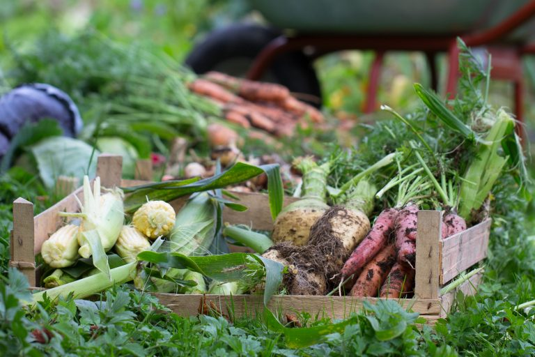 Gemüseernte