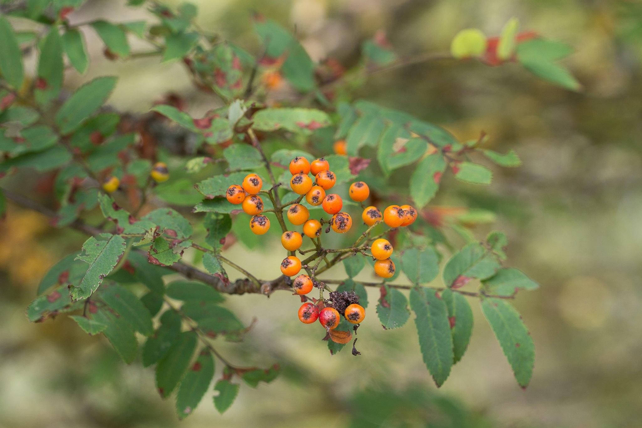 Vogelbeerbaum (Sorbus aucuparia)
