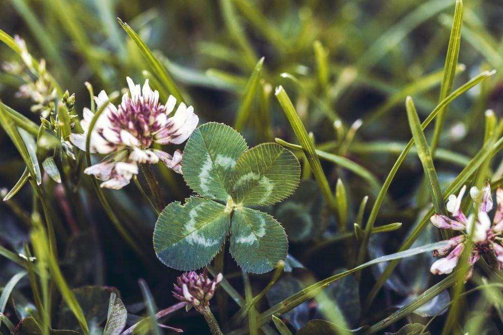 Klee (Trifolium repens)
